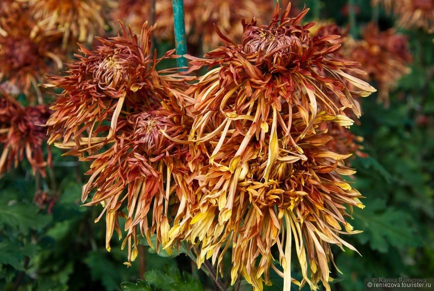 Хризантемы Chrysanthemum Описание виды и уход за