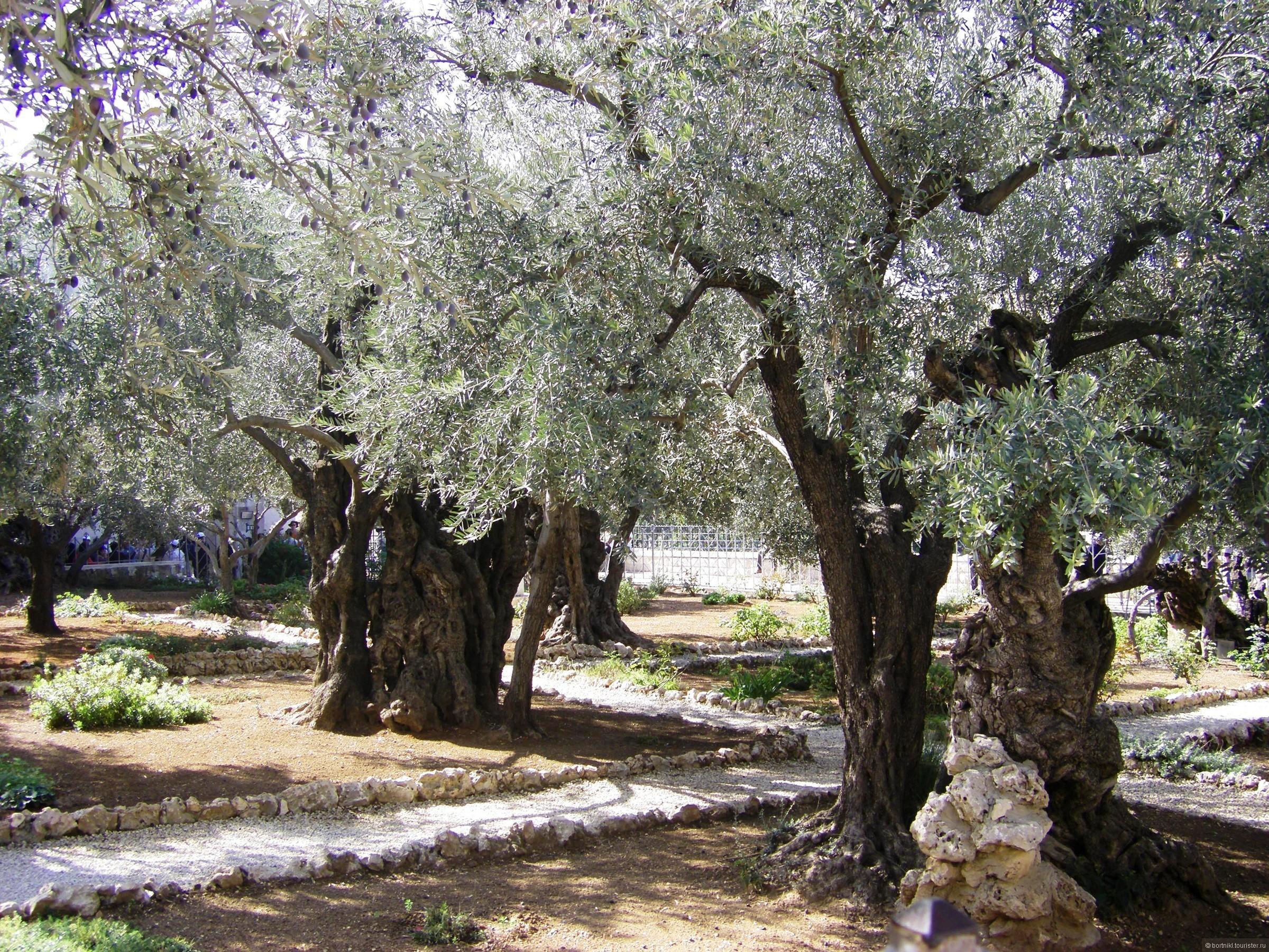 пушисты зверьки гефсиманский сад иерусалим фото пофиг