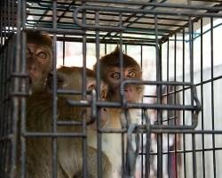 Двое граждан России арестованы в Таиланде за эксплуатацию обезьян