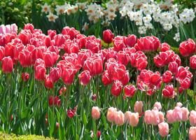 Королевский Ботанический сад (тюльпаны)