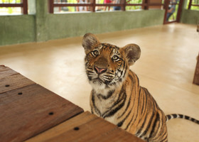 Тигры на Пхукете