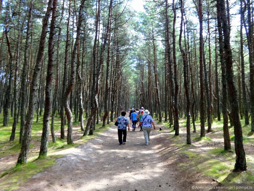 анцующий лес на Куршской косе
