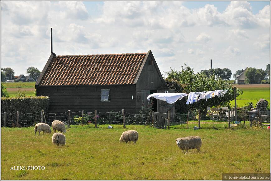 Жирные голландские барашки на лугу...