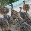 Экскурсия на страусиновую ферму