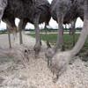 Экскурсия на ферму страусов