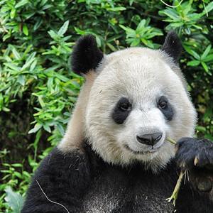 Панды в питомнике г. Чэнду 成都