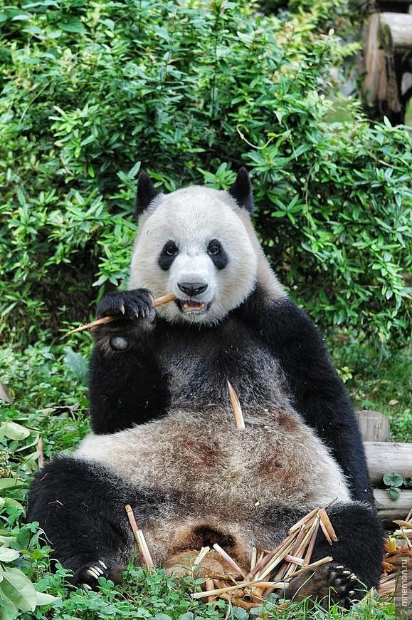 Не грусти, бамбуком похрусти