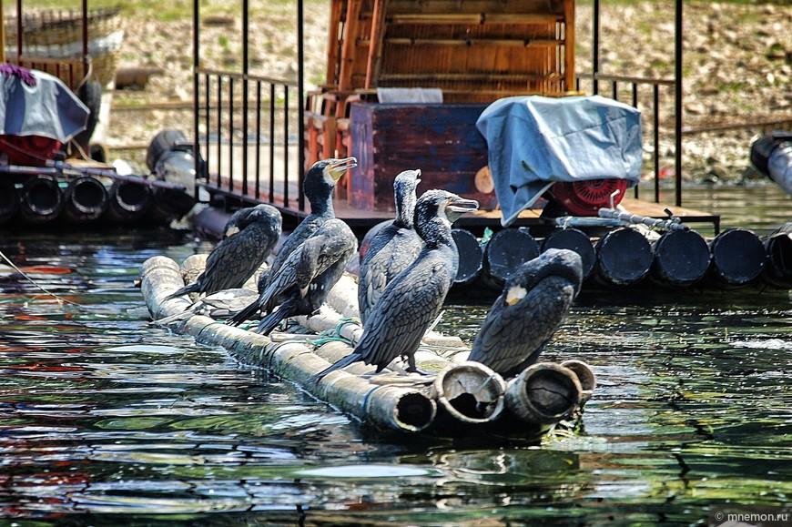 Птицы – помощники рыбаков