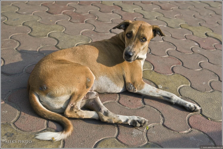 Индийские собаки - весьма добродушны. На нас ни разу не лаяла ни одна. Хотя священными животными я бы их не назвал..., Животные мегаполиса (Индия)