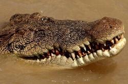 Австралийский крокодил на две недели «арестовал» на острове туриста