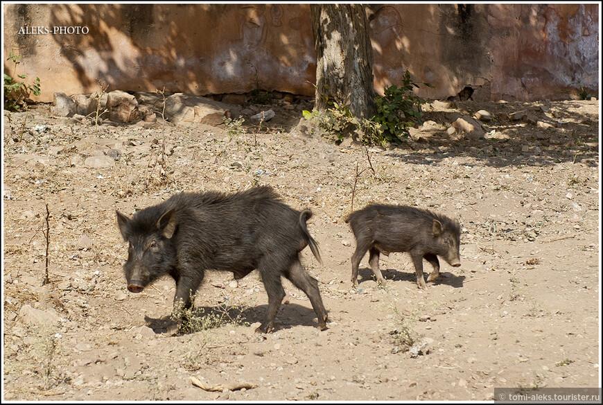 Свинтусы - в Индии они почему-то черные...