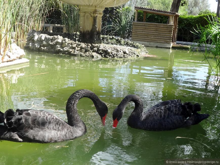 Черные лебеди выполняли все команды фотографов. Вот фигура - сердечко.