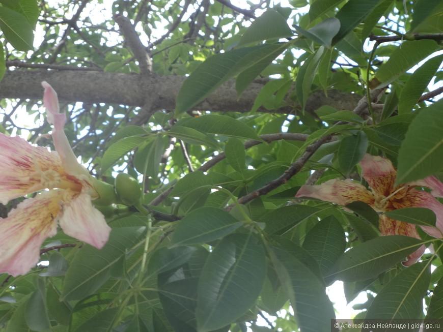 Райское дерево - Chorisia speciosa.