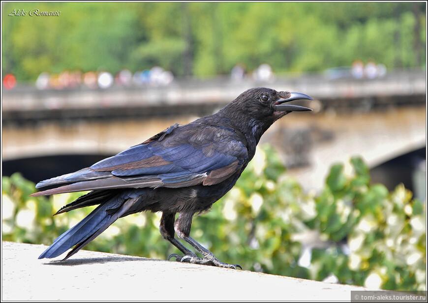 Ворона-парижанка - немного нагловатая...