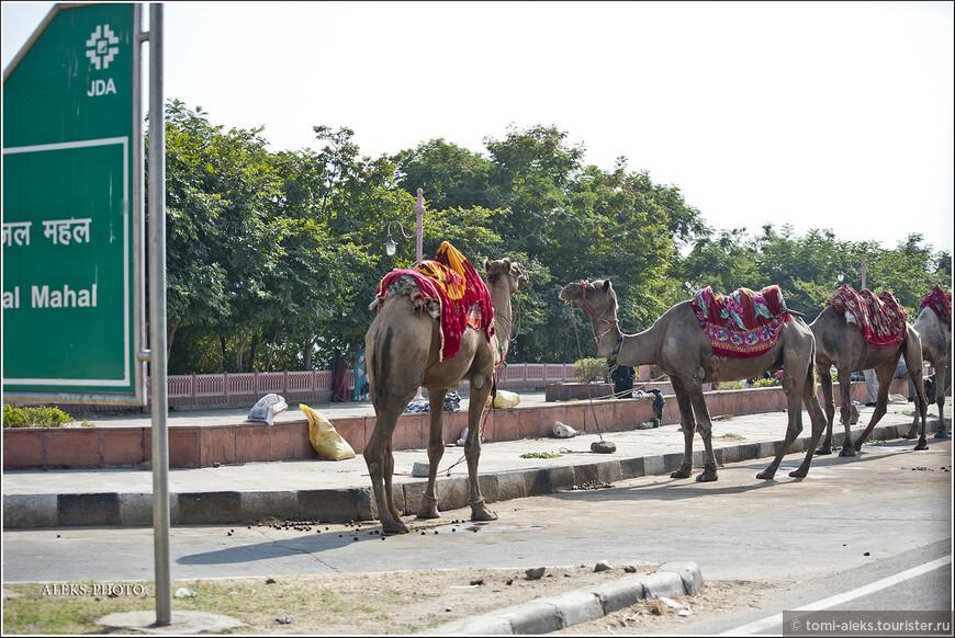 А, когда мы подъехали к Джал Махалу (Дворцу на воде) появились еще и верблюды...