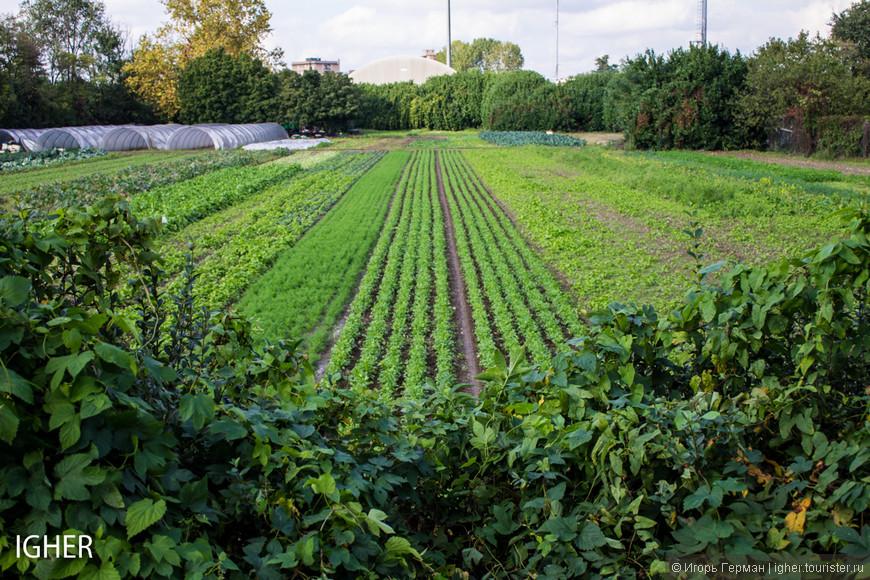 маленькое поле салата и капусты