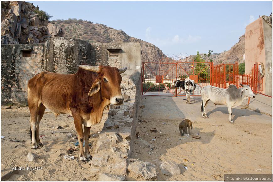 Мы приехали рано утром. Ворота в монастырь еще не были открыты. У ворот паслись коровы и сновали туда-сюда пронырливые обезьяны...