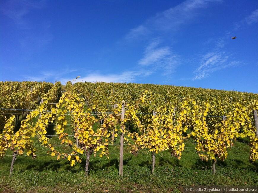 Виноградники начинаются за каждым домом.