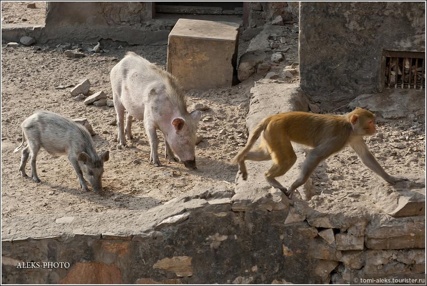 Меня удивило обилие диких свинтусов, которые прекрасно уживаются здесь с обезьянами... Хотя упитанными их никак не назовешь. Интересно, почему же индийцы не едят свиней? Оказывается,   у индийцев Алмазная Свинья - это Ваджраварахи - Царица Небес, женское проявление третьего воплощения Вишну в облике кабана. Она является источником жизни и плодородия. Несмотря на то, что у многих народов отношение к свиньям мягко говоря пренебрежительное...