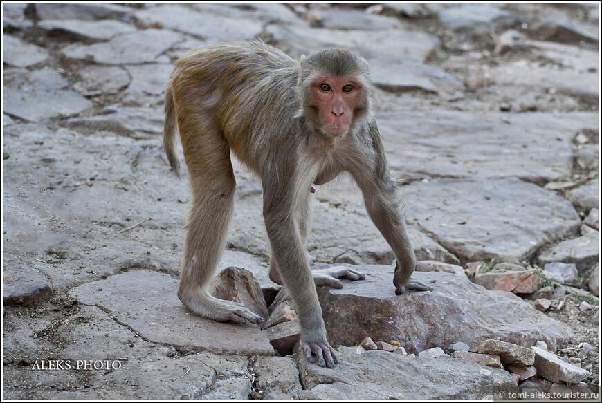 И это при том, что обезьяны доставляют много хлопот и туристам и местным жителям. С таким товарищем лучше не шутить...