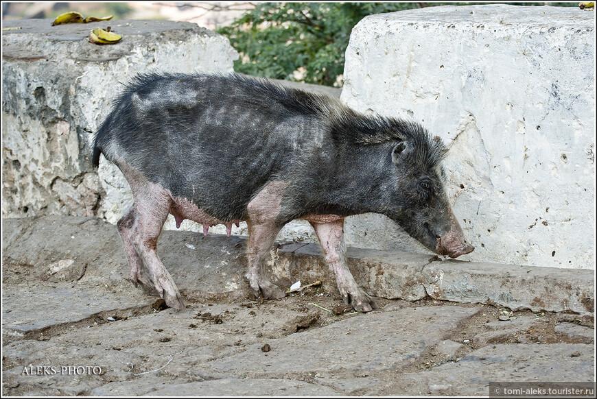 Свинтусы здесь - полный отпад. Их тут никто не употребляет в пищу.Зато сами хрюшки питаются на всех свалках страны...