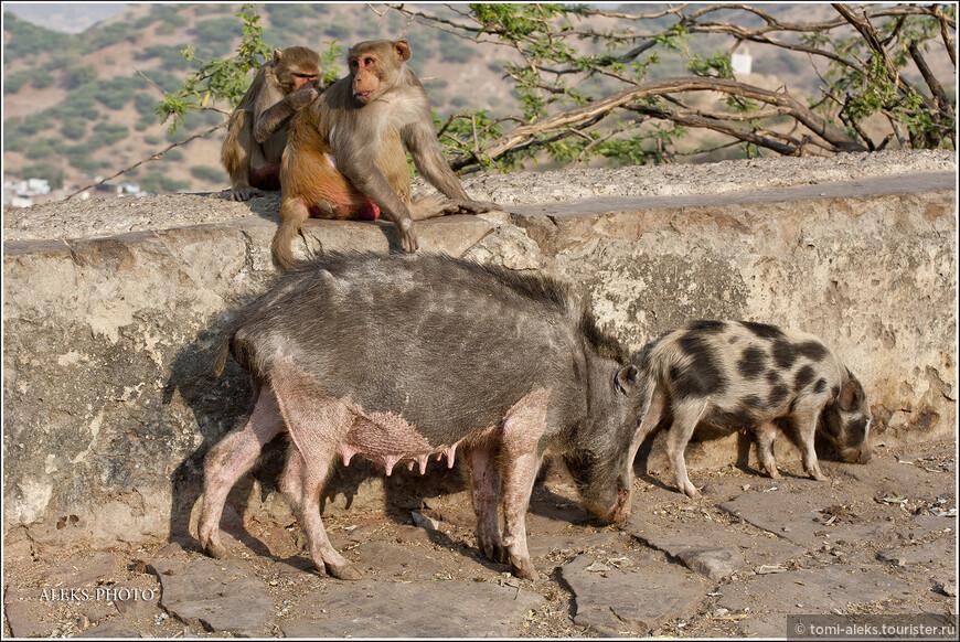 Попробуй прокорми такое стадо, которое к тому же постоянно плодится и размножается. Индийцы при своей любви к животным просто превратили многие свои монастыри и города - в зоопарки...