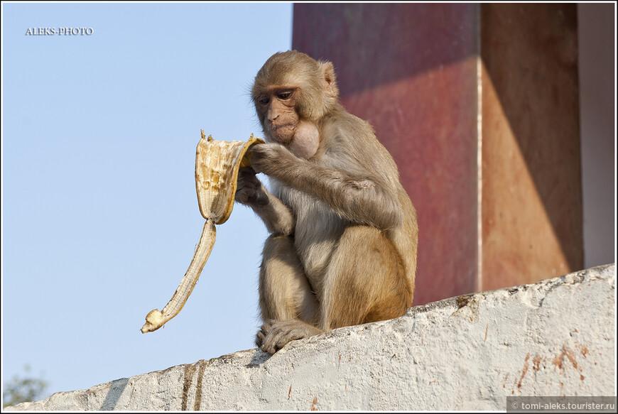 Пожалуй, в этом месте обезьян было больше, чем мы их увидели за всю поездку по Индии. Это очень порадовало нас. Захотелось разобраться, почему индийцы почитают этих животных наравне с коровами или слонами?