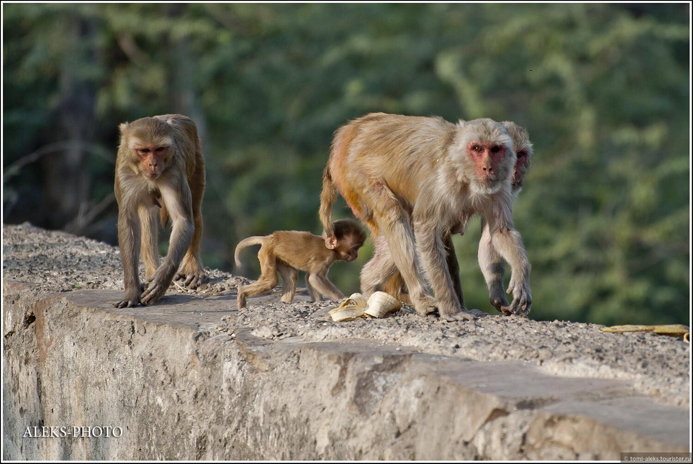 """Оказывается, Хануман (один из героев эпоса """"Рамаяна"""", сын полубожественной женщины Анджана и бога ветра Ваю) — один из самых популярных богов индуизма — вождь обезьян., Обитатели обезьяньего дворца (Индия)"""