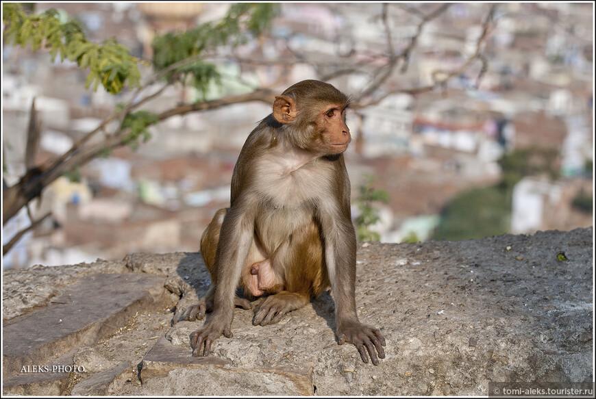 Вот и ответ на вопрос — культ Ханумана в Индии заставляет простых индусов кормить бездомных обезьян по всей стране. А те — живут себе припеваючи и даже в кафешках воруют еду из тарелок у туристов, стоит только тем зазеваться...