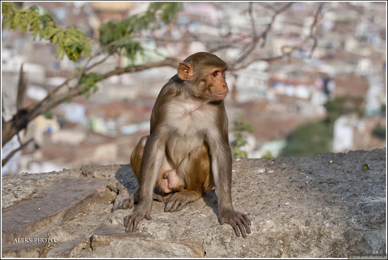 Вот и ответ на вопрос — культ Ханумана в Индии заставляет простых индусов кормить бездомных обезьян по всей стране. А те — живут себе припеваючи и даже в кафешках воруют еду из тарелок у туристов, стоит только тем зазеваться... , Обитатели обезьяньего дворца (Индия)