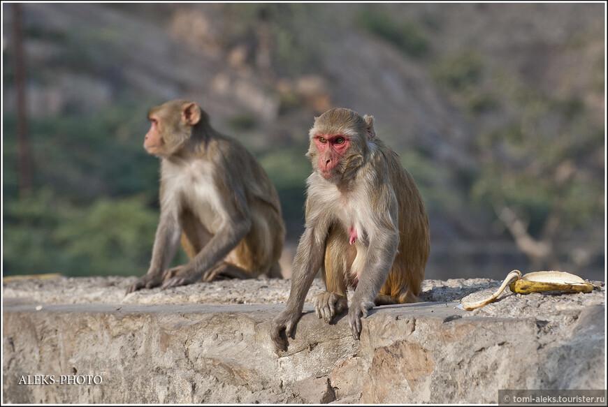 А к какой же породе относятся обезьяны, которых мы чаще всего встречали в городах и монастырях Индии?