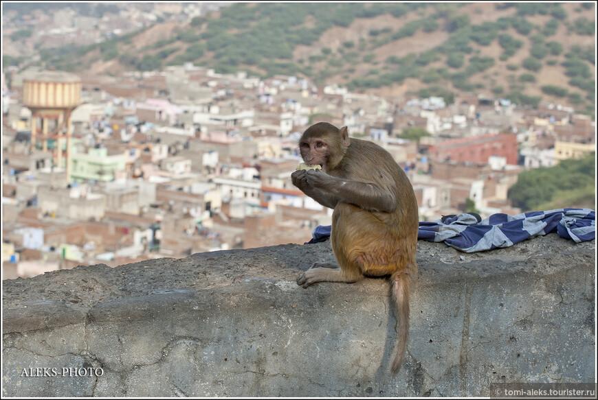 Они с удовольствием поселяются в индийских городах, где чувствуют вседозволенность, и где всегда можно чем-то поживиться. Эти приматы — небольших размеров (до 80 см) с весом до 15 кг.