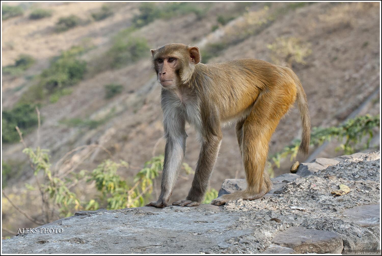 Причем, самки весят в два раза меньше самцов.В обезьяньих стаях может быть до сотни животных, взаимосвязанных строгой иерархией. Это, судя по всему - самец., Обитатели обезьяньего дворца (Индия)