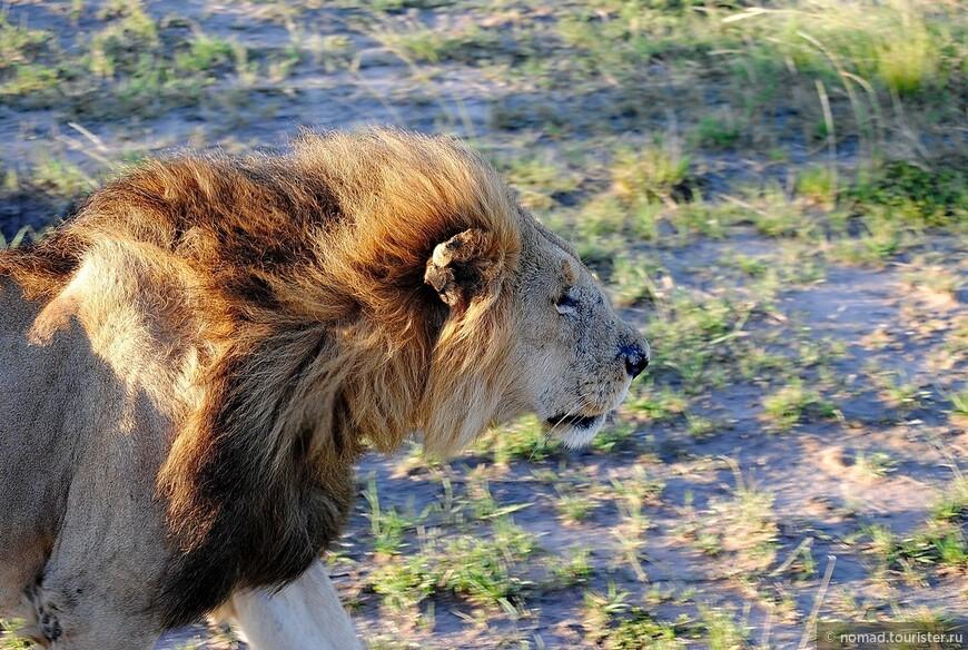 Африканский лев