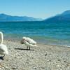 Лебеди на сирмионском пляже