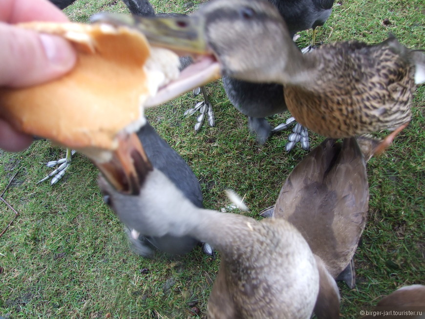 Голодные утки.