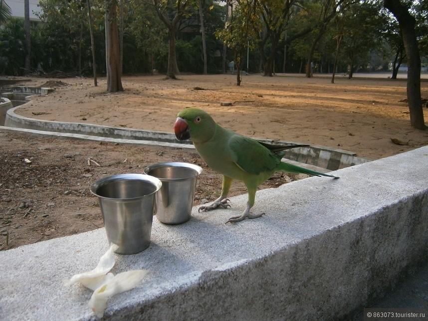 Этот попугай каждое утро прилетал к нам завтрак. Особенно он любил прихлебывать сладкий чай с молоком)