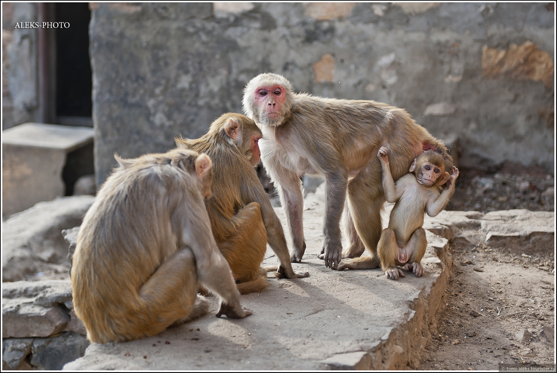 До года малыш обычно висит на маме. Потом становится самостоятельнее..., Мое анималистическое счастье (Индия)