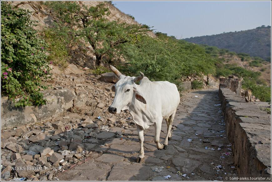Коровы забредают куда угодно. Для них здесь нет запретов. Интересно, каковы у них взаимоотношения с обезьянами. Ведь и те и другие - священные животные...