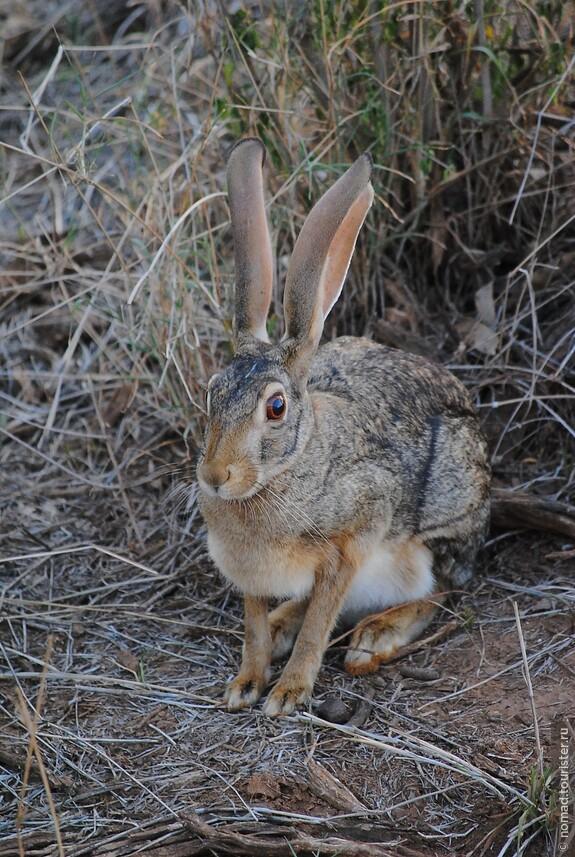 Капский заяц