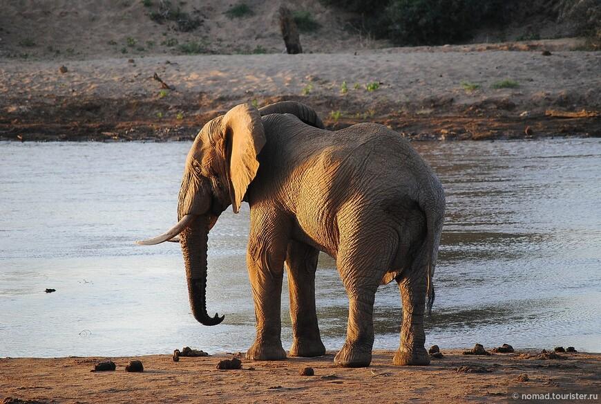 Африканский слон
