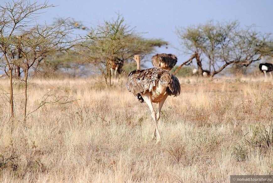Страус сомалийский