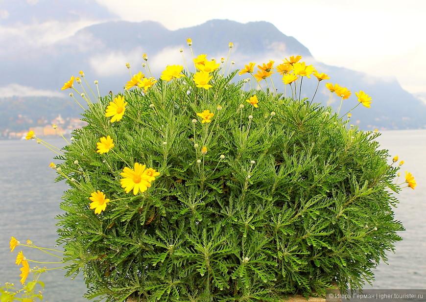 цветок,Белладжио