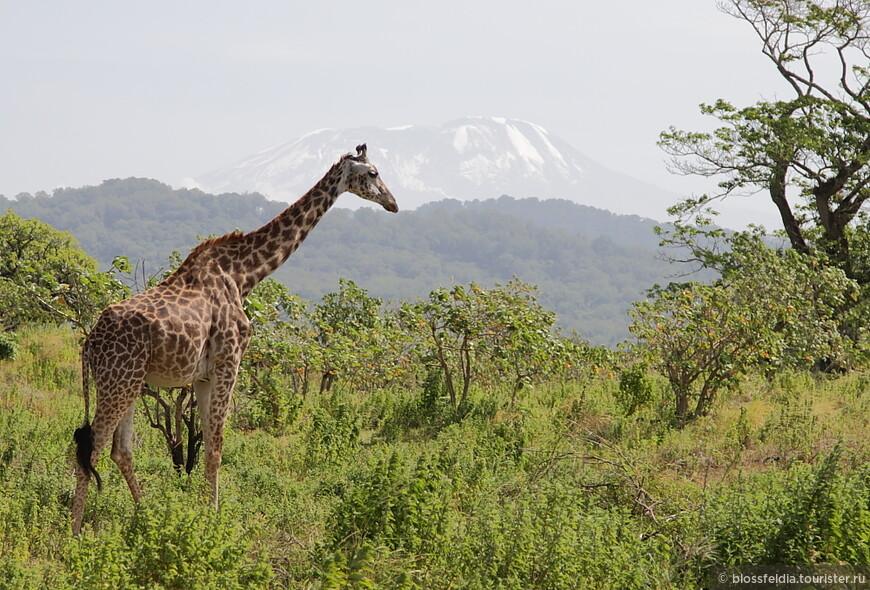 жираф на фоне Килиманджаро. Нац. парк Аруша