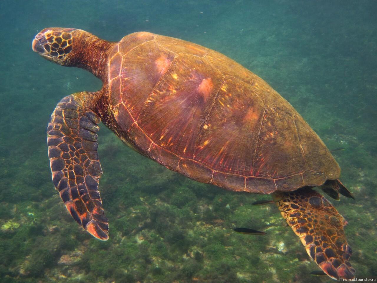стекло, легкая морская черепаха фото и названия она