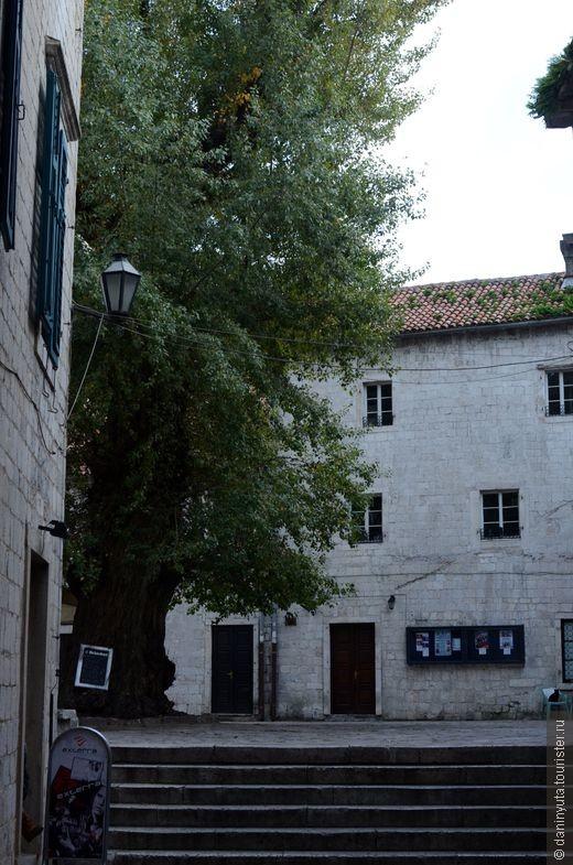 Единственное настоящее (и притом огромное) дерево Старого Котора прячется в небольшом дворике. Там же - библиотека и кинотеатр. Расписание последнего видно на фото.