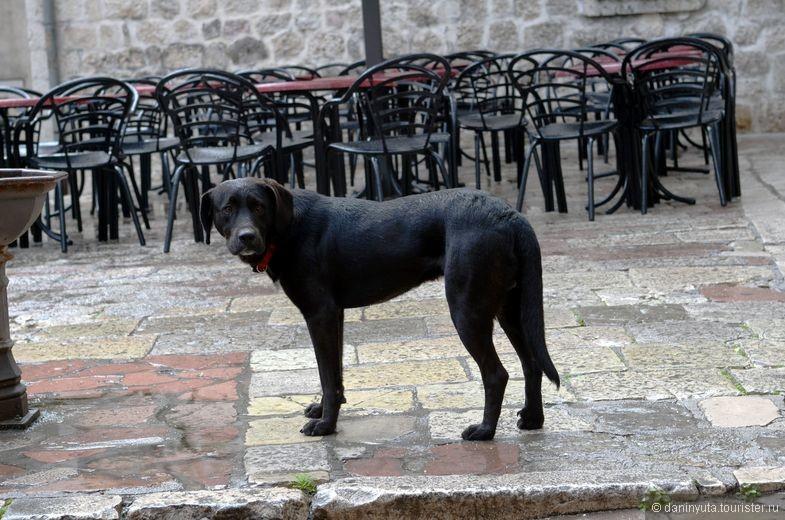 Это не просто какая-то собака! Это всем собакам собака. Да, в Которе много кошек (и мало собак). НО. В Которе есть вот этот очаровательный пес. Он молод и очень общителен. Каждое утро его можно встретить у Морских ворот - он ждет, с кем куда-нибудь прогуляться. Рад всем. Не голоден. С нами прогулялся аж до крепости (т.е. в гору и надолго). Спустившись обратно в город, мы купили ему сарделек. Он вежливо взял одну и аккуратно выплюнул на мостовую. Я подобрала и отнесла в сторону. Пес тяжело вздохнул, взял сардельку и весело побежал с нею впереди нас. Свернув за ближайший угол, он аккуратно сплюнул ее в уголок и снова пошел за нами. Не в еде счастье - этот пес точно знает эту нехитрую истину...