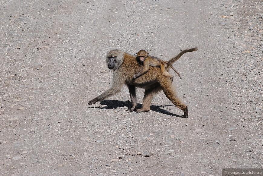 Павиан-бабуин