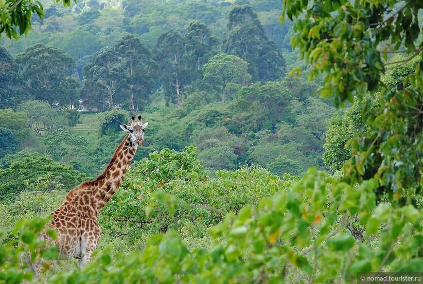 Масайский жираф