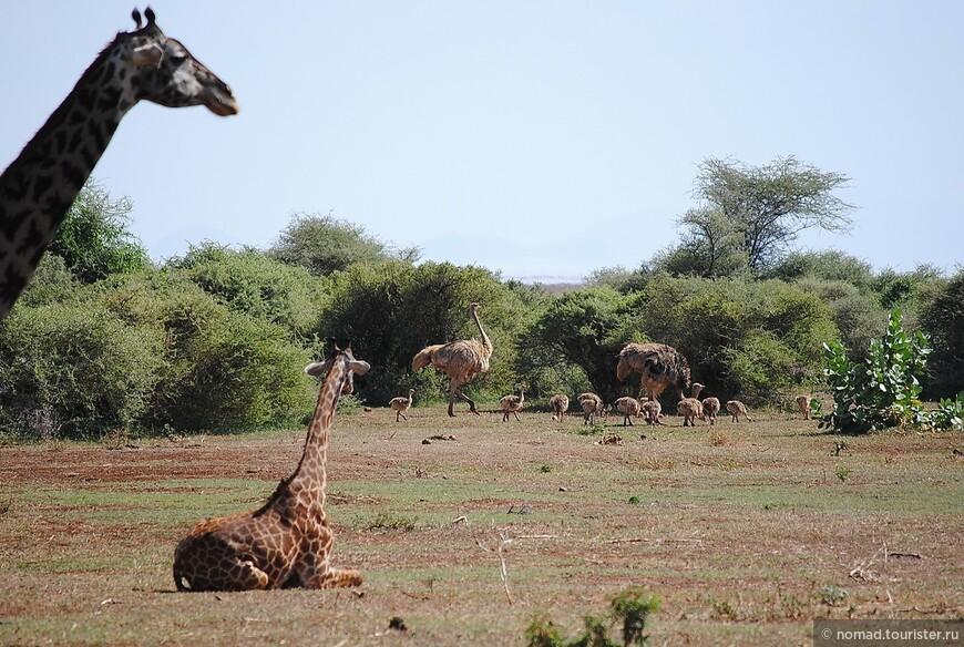 Жирафы и страусы